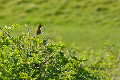 Greenfinch (Chloris chloris) perched on bush Stock Photos