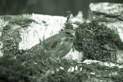 Greenfinch (chloris del Carduelis) en el tronco del abedul para el backgr natural Imagen de archivo