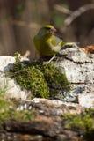 Greenfinch (chloris del Carduelis) en la orilla de la charca f del bosque Fotografía de archivo libre de regalías
