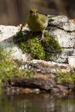 Greenfinch (chloris del Carduelis) en la orilla de la charca f del bosque Imagenes de archivo