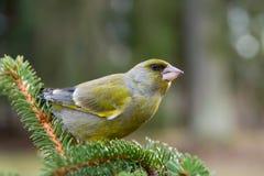 Greenfinch, chloris do Carduelis, Imagem de Stock