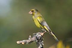 Greenfinch (chloris do Carduelis) Imagens de Stock