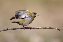 Greenfinch, chloris do Carduelis Fotografia de Stock Royalty Free