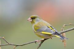 Greenfinch (chloris do Carduelis) Fotos de Stock Royalty Free