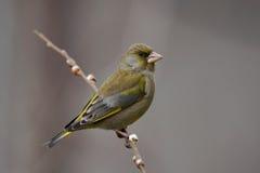Greenfinch - chloris do Chloris Imagem de Stock Royalty Free