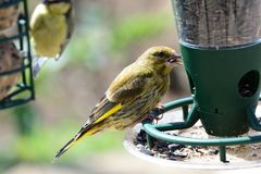 Greenfinch chloris chloris. Portrait of a greenfinch chloris chloris eating sunflower seeds on a bird feeder royalty free stock images