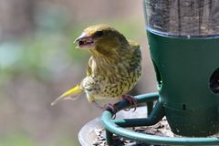 Greenfinch chloris chloris. Portrait of a greenfinch chloris chloris eating sunflower seeds on a bird feeder royalty free stock photo