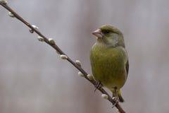 Greenfinch - Chlorischloris Arkivbilder