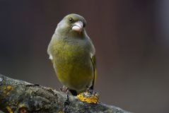 Greenfinch - Chlorischloris Royaltyfri Fotografi