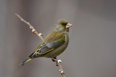 Greenfinch - Chlorischloris Royaltyfri Bild