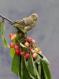 Greenfinch Chlorischloris Royaltyfri Foto