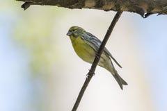 Greenfinch chlorisfågel Fotografering för Bildbyråer