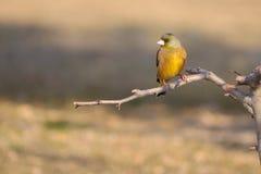 Greenfinch Cinzento-tampado Fotografia de Stock