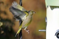 greenfinch cloris carduelis Стоковое Изображение RF