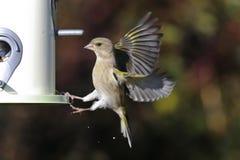 greenfinch cloris carduelis Стоковые Изображения