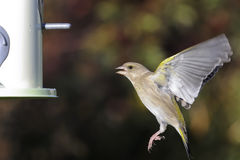 greenfinch cloris carduelis Стоковые Фото