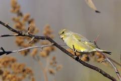 greenfinch cloris carduelis Стоковые Фотографии RF