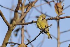 greenfinch cloris carduelis Стоковая Фотография