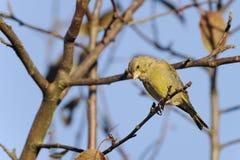 greenfinch cloris carduelis Стоковая Фотография RF