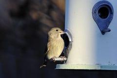 greenfinch cloris carduelis Стоковое фото RF