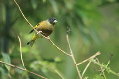 Greenfinch de cabeza negra Fotografía de archivo libre de regalías
