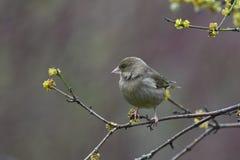 Greenfinch in de vroege lente Stock Foto