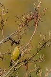 Greenfinch dell'albero di ontano Immagine Stock Libera da Diritti