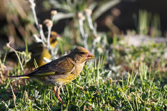 Greenfinch Royalty Free Stock Photos