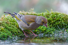 Greenfinch drinking Royalty Free Stock Image