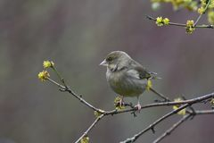 Greenfinch in early spring Stock Photo
