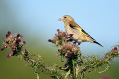 Greenfinch eating wild thistle flowers Stock Photos