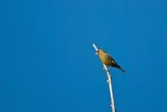 Greenfinch em um ramo Fotografia de Stock