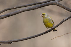 Greenfinch em um ramo Fotos de Stock Royalty Free
