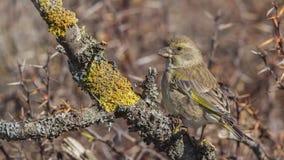 Greenfinch en Lichen Branch imágenes de archivo libres de regalías