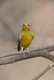 Greenfinch engraçado Imagem de Stock