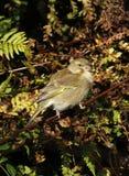 Greenfinch européen Photographie stock