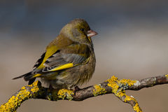 Greenfinch europeo Immagine Stock