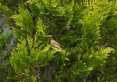 Greenfinch europeo che si siede sul arborvitae Smaragd e girato ciao immagine stock libera da diritti