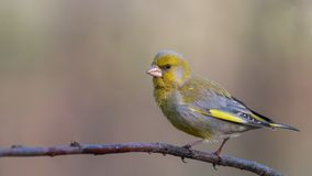 Greenfinch europeo Uccello canoro giallo che si siede sul ramo fotografie stock libere da diritti