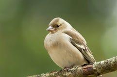 Greenfinch europeu Fotografia de Stock Royalty Free