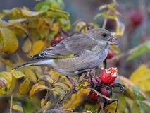 Greenfinch feeding on rose hip berry seeds. Royalty Free Stock Photography