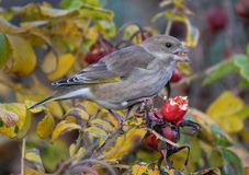 Greenfinch feeding on rose hip berry seeds. Stock Image