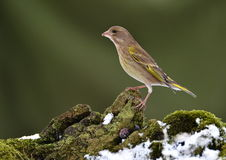 Greenfinch female Stock Photography