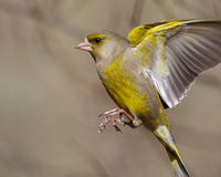 Greenfinch in flight Royalty Free Stock Photography