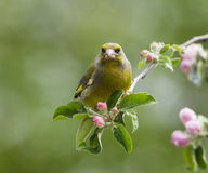 Greenfinch in flowering apple tree Stock Photos