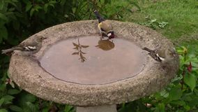 Greenfinch and Goldfinch drinking from a birdbath. stock video