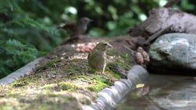 Greenfinch im Garten stock footage
