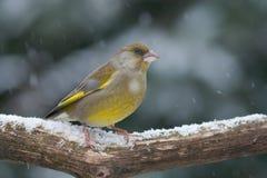 Greenfinch im Schnee Stockfotos