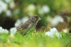 Greenfinch inside white flowers Stock Images