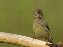 Greenfinch joven en la rama Fotografía de archivo libre de regalías